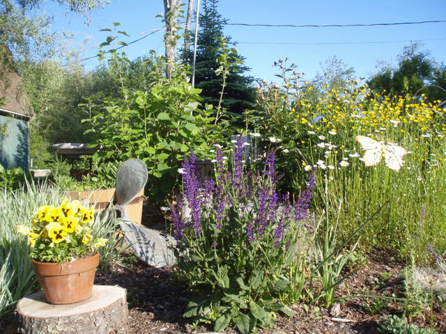 Garden by the willows...salvia in full bloom