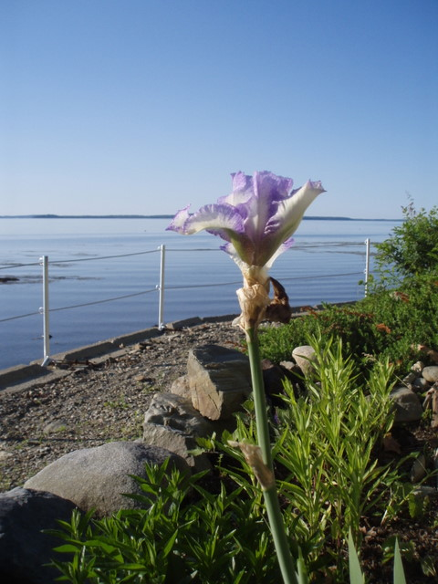 Purple iris at the boardwalk