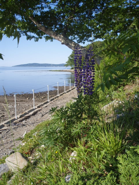 Cindy's Lupine's on sites three and four