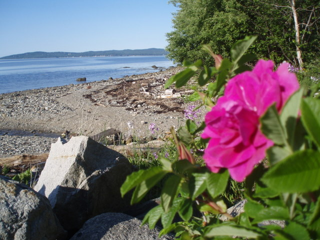rugosa rose at the beach...low tide