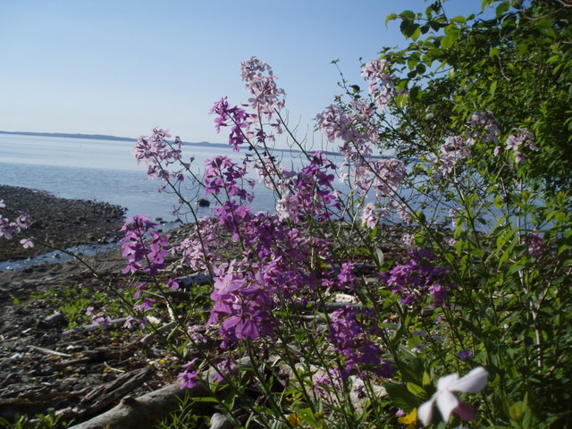 Phlox are everywhere in the ditches and in protect beach areas
