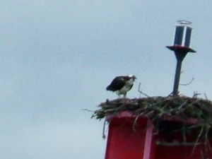 Osprey on Bell Buoy by Sears Island