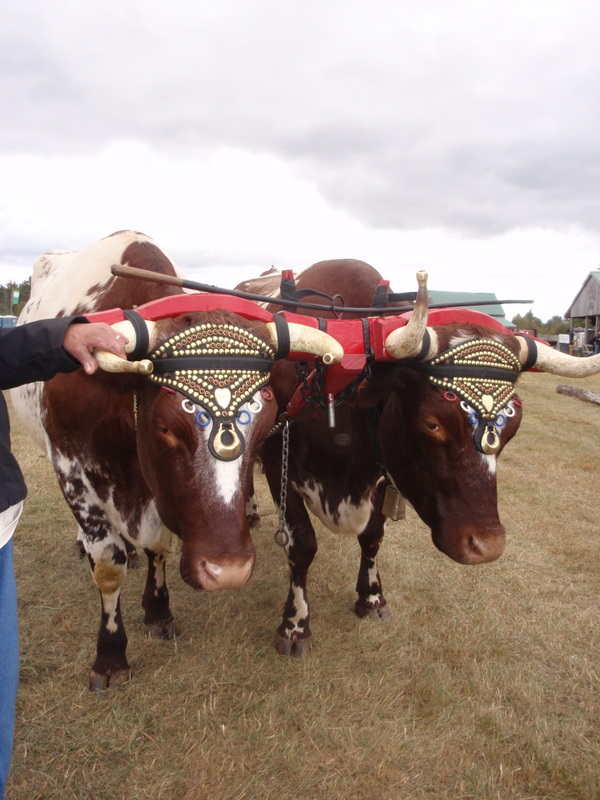 Oxen from New Brunswick...see their headpieces?