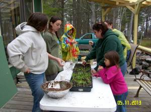 100's of seedlings were transplanted by the Searsport Girl Scout's group