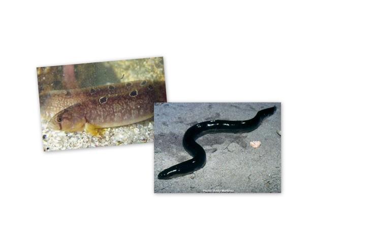 Is it an Gunnell or an Eel?
