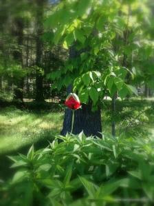 Today I watch an oriental poppy burst into full splendor