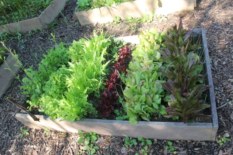 One of many beds of fresh salad freens for anyone who wants to pick while they're here.