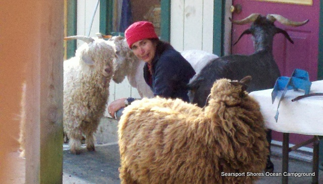 Today's the day we harvest the wool