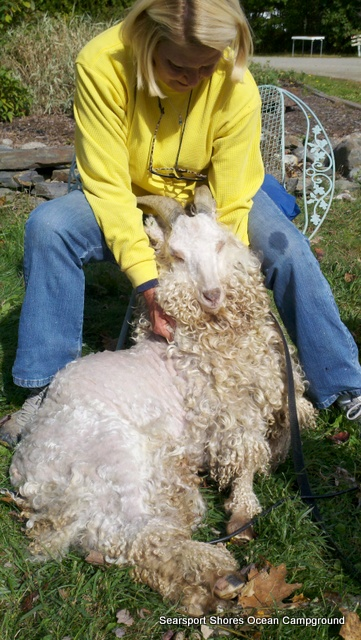Betsy helped me shear Trevor...as she scratches his ears I clip.  It takes a real sheep shearer about 8 minutes to clean an animal...we took about 4 hours to get the job done but can report happily that we didn't draw blood