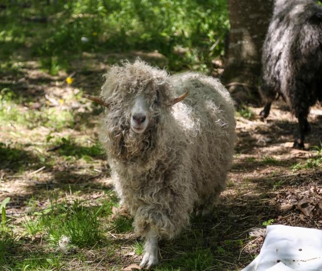 Trevor before shearing