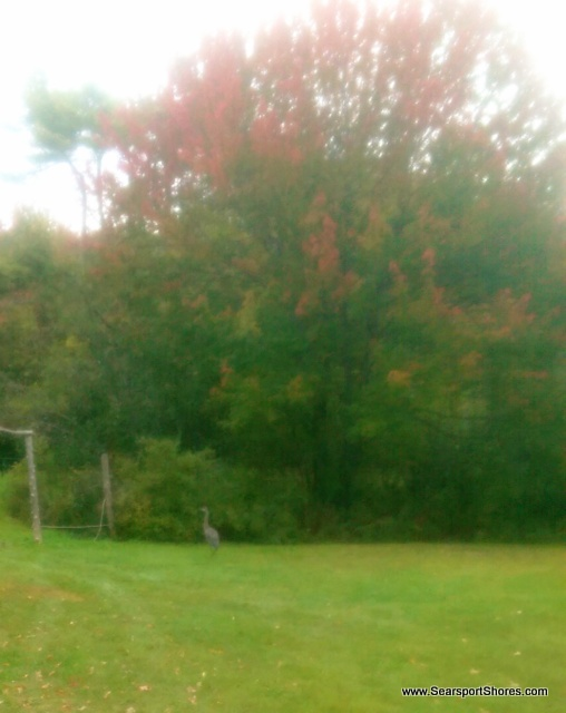 Our frog pounds seem like candy jars to a couple of blue herons that have been hanging around. It was foggy this morning and I tried to capture this young one...can you see her to the left of the red maple?