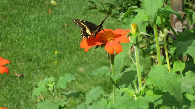 MexHat-GiantSwallowtail2