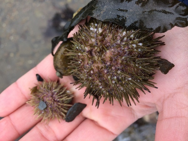 urchins, sea, ocean