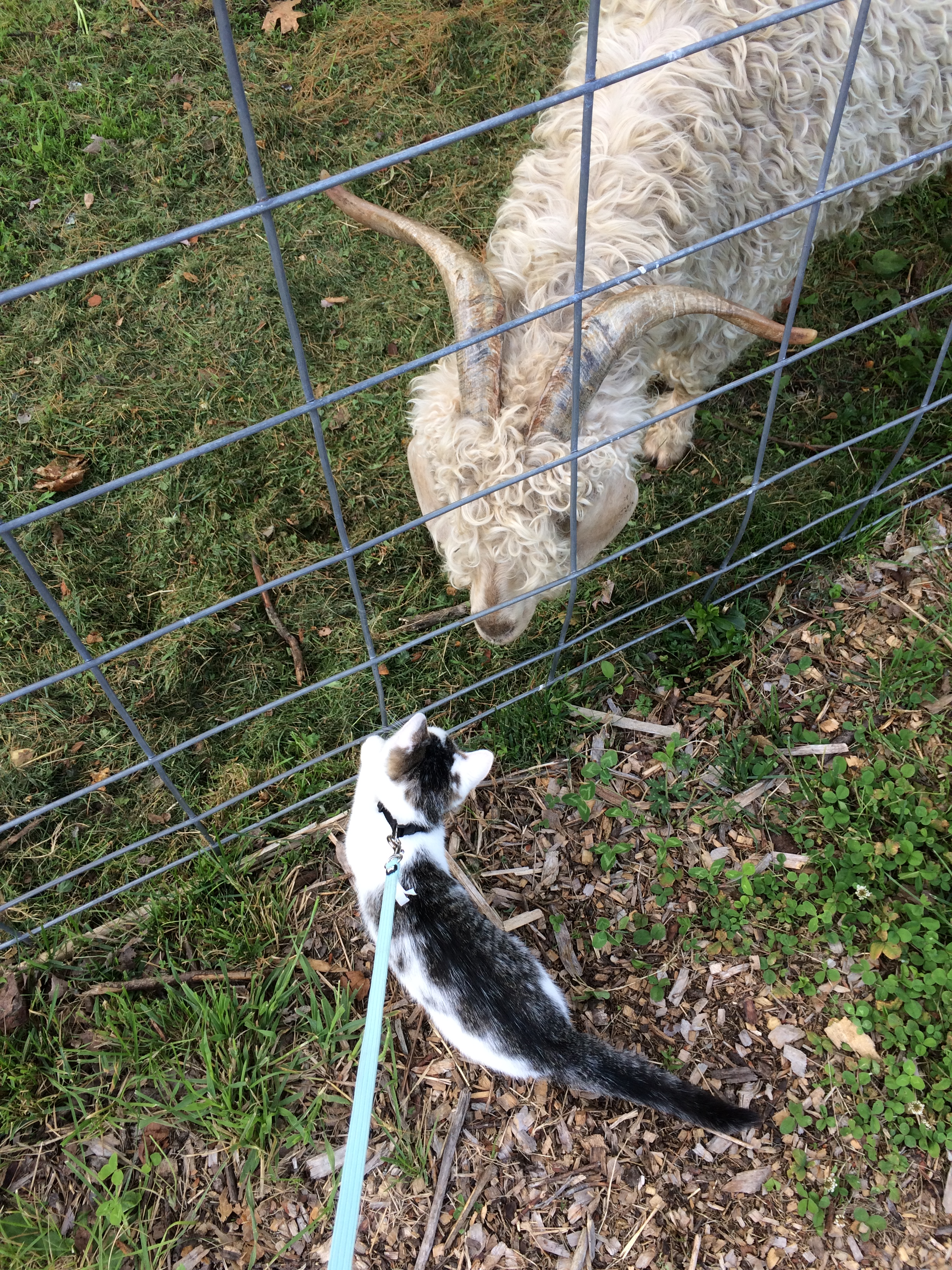 goats, cats, love, happy, searsport